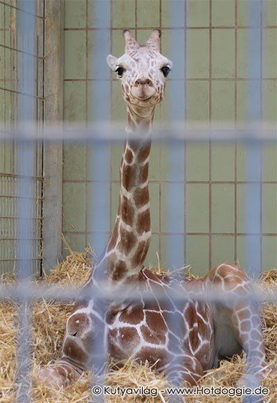 Giraffe im Gefaengnis