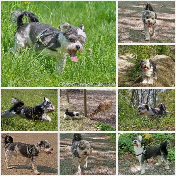 Bichon Havanese (Hund, Dog, Kutya)