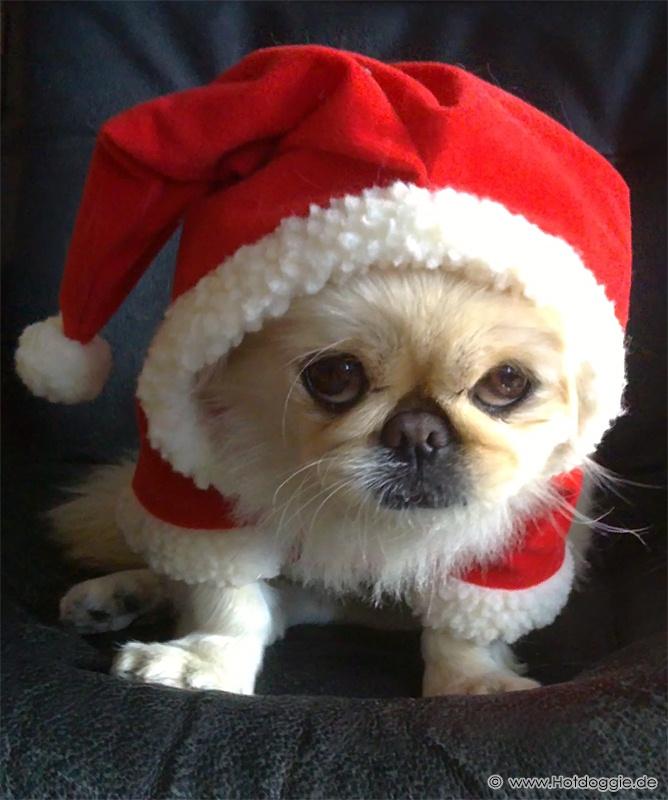 A mikulásnak öltözött Furby palotapincsi kutya
