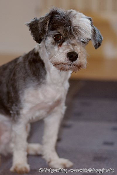 Murray kutya a kutyakozmetika után