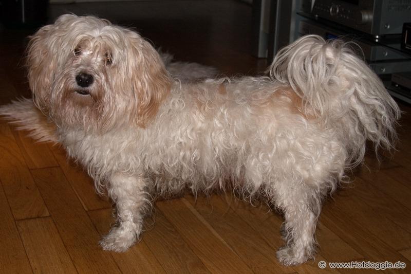Bichon Havaneser kutya - Pizsamapartin