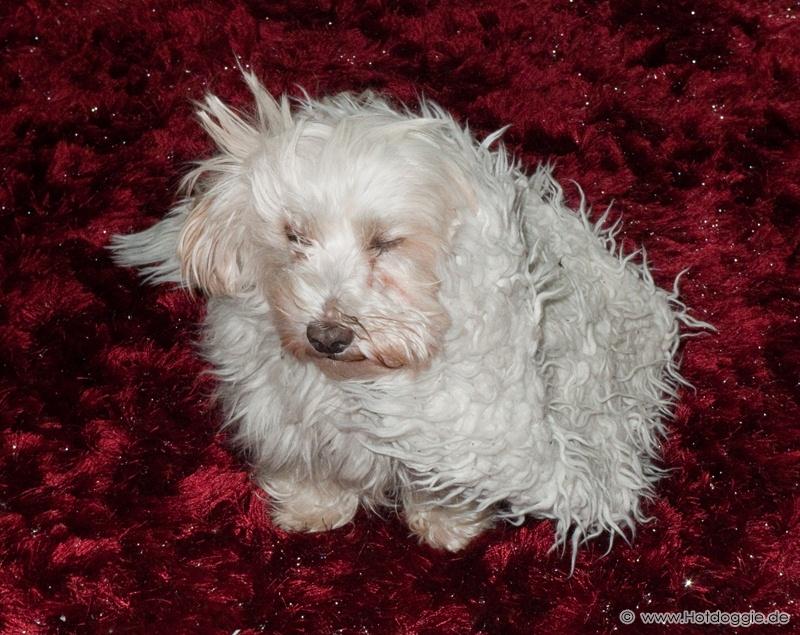 Charlie az álcázó-művész-kutya