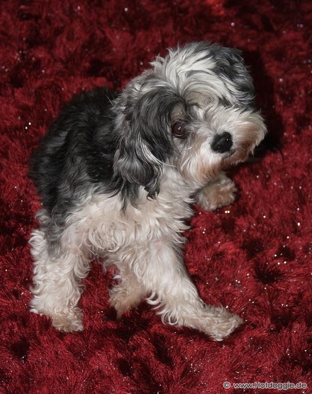 Murray a kitekeredő-művész-kutya
