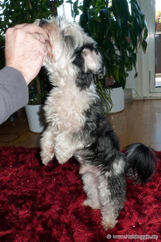 Murray a Bichon Havanese kiskutya kérése két lábon állva