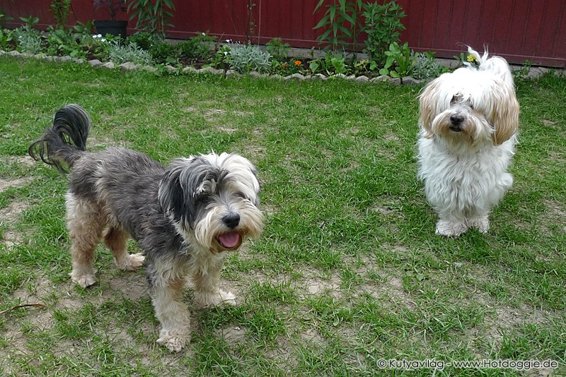 Murray és Charlie kutya