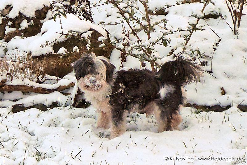 Mörri kutya játéka a hóban