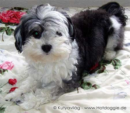 060-havanese_murray.jpg