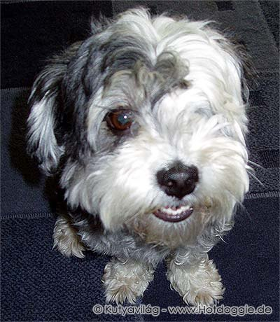 064-havanese_murray.jpg