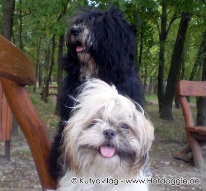 Házikedvencek: Artur a tibeti terrier és Süti a shih-tzu kutyusok története