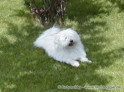 Házikedvencek: Babuci a Bichon Havanese kutya története