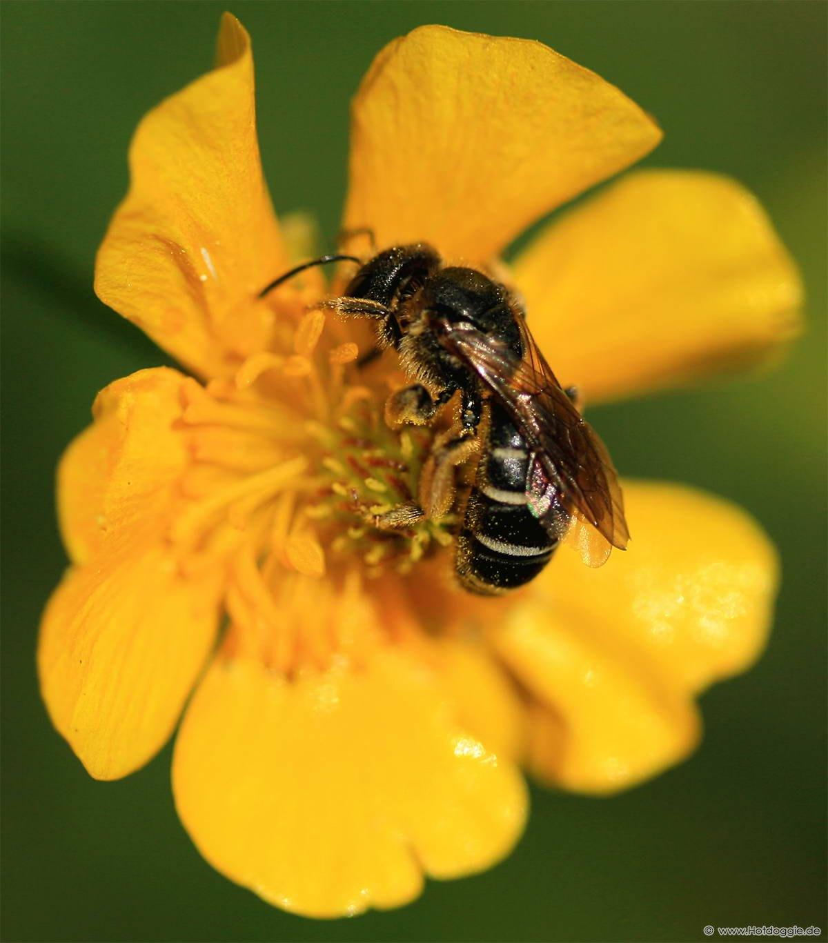 Aranyszőrű méhecske