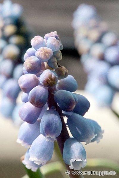 Makrófotó - Tavaszi virágok: Fürtös gyöngyike