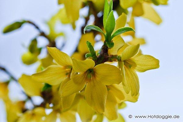 Makrófotó - Tavaszi virágok: Aranyvessző (Forsythia)