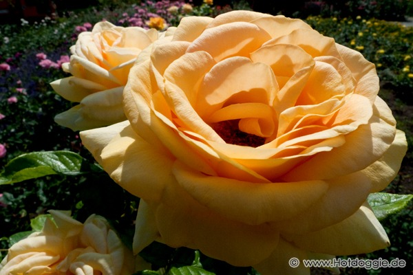 Makrófotó egy rózsáról