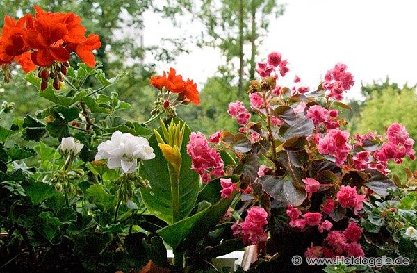 Erkélyvirágok