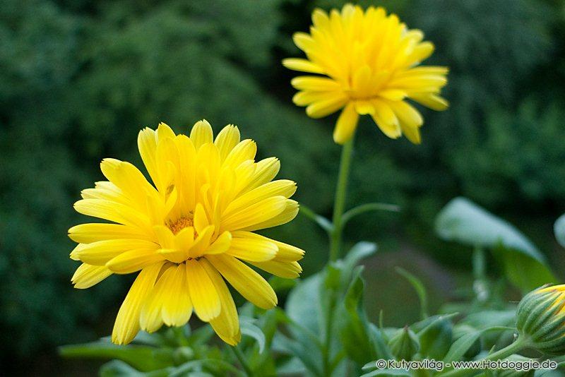 Körömvirágok, más néven kenyérbélvirágok, gyűrűvirágok (Calendula officinalis) sokasága júniusban az erkélyen