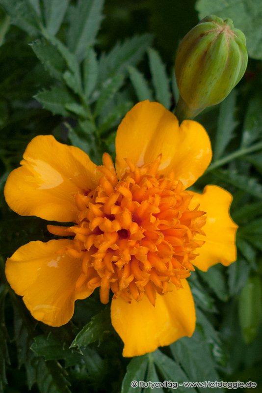 Büdöskék, vagyis a bársonyvirágok (Tagetes) az erkélyen.