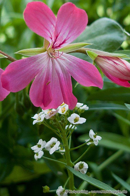 Az illatos ternye (Lobularia maritima) illatos hófehér virágai a muskátli virága alatt.