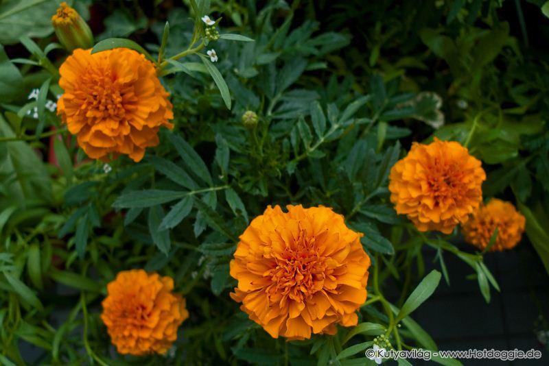 Büdöskék, vagyis a bársonyvirágok (Tagetes patula) júniusban az erkélyen