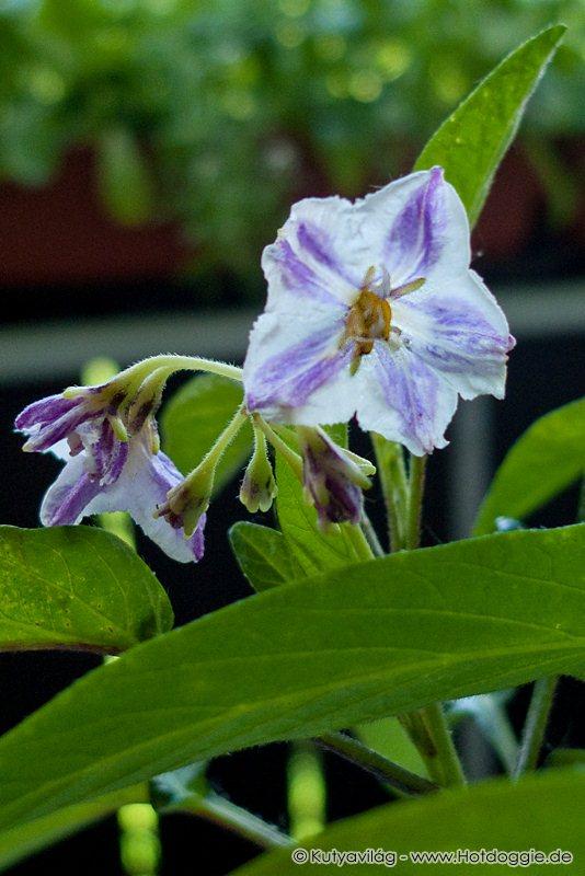 A palántaként vásárolt tojásdinnye, más néven pepino, peruiuborka (Solanum muricatum vagy Solanum variegatum Ruiz & Pav.) növényke virágzása.