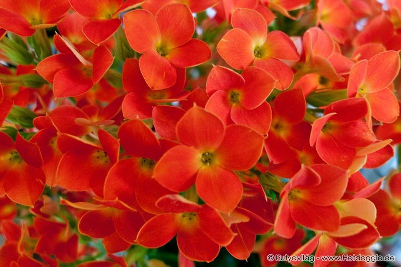 Virágzó  szobanövény